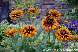 1013-Rudbekias and a Butterfly