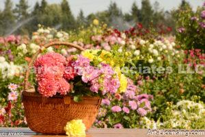 0112-Dahlia in the Basket