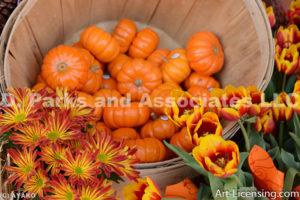 0455-Pumpkins Mums and Tulips