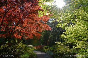 3300-Garden-Maple Tree