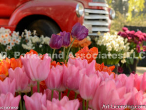 4674-Tulips and Old Red Truck