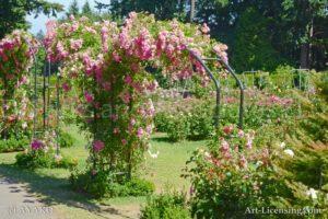 4878-Pink Rose Arch in Rose Garden