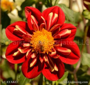 6551-Red Dahlia and Bee