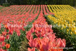 6689-Tulip Field