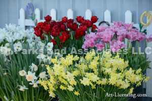 6852-Tulips and Daffodils in Spring