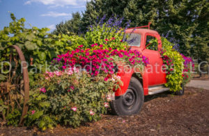 Red Vintage Truck with Sanguna Flowers
