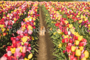 1110-Tulip Field with Pomeranian Dog-by AYALO