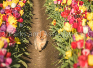 1111-Tulip Field with Pomeranian Dog-by AYALO