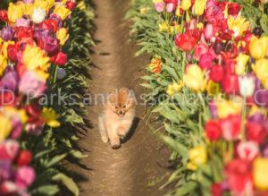 1111-Tulip Field with Pomeranian Dog-by AYALO