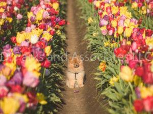 1112-Tulip Field with Pomeranian Dog-by AYALO