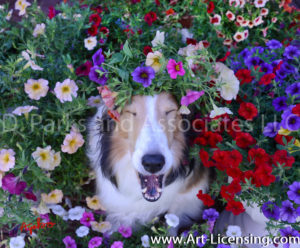 1147-Petunias on Yawn Bebe Sheltie dog-by AYAKO