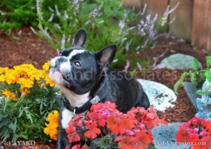 5844-French Bulldog in the Garden-by AYAKO