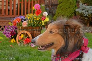 6807-Sheltie dog and Wooden Flower Wagon-by AYAKO