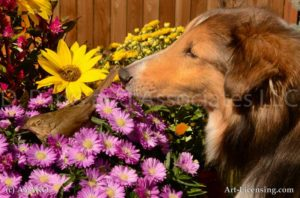 6969-Aster Rudbecia Brown Bird with Sheltie Dog-by AYAKO