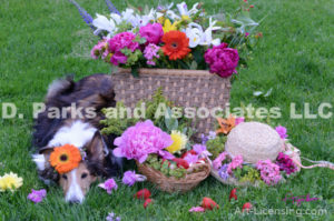 8291-Garbela flower on Bebe Sheltie Dog Head-by AYAKO