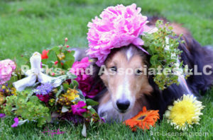 8405-Peony flower on Bill Sheltie Dog Head-by AYAKO