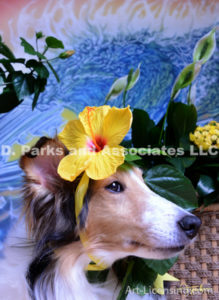 8571-Yellow Hibiscus on Bebe Sheltie Dog-by AYAKO