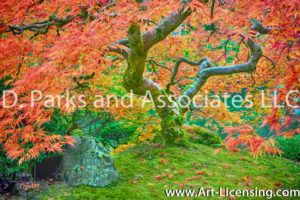 7650S-Maple-Tree-in-Portland-Japanese-Garden
