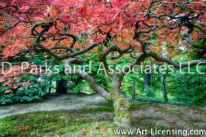 7673S-Maple-Tree-in-Portland-Japanese-Garden