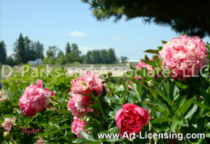 7608S-Pink Peony and Field