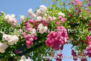 9322S-Pink and White Roses