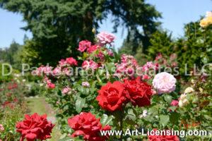 9606S-Rose Garden