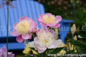 7139-Pink Peonies and Blue Chair