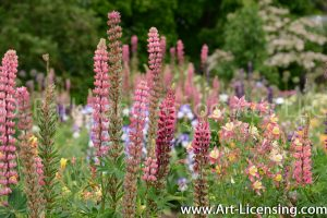 7158-Lupine in the Garden
